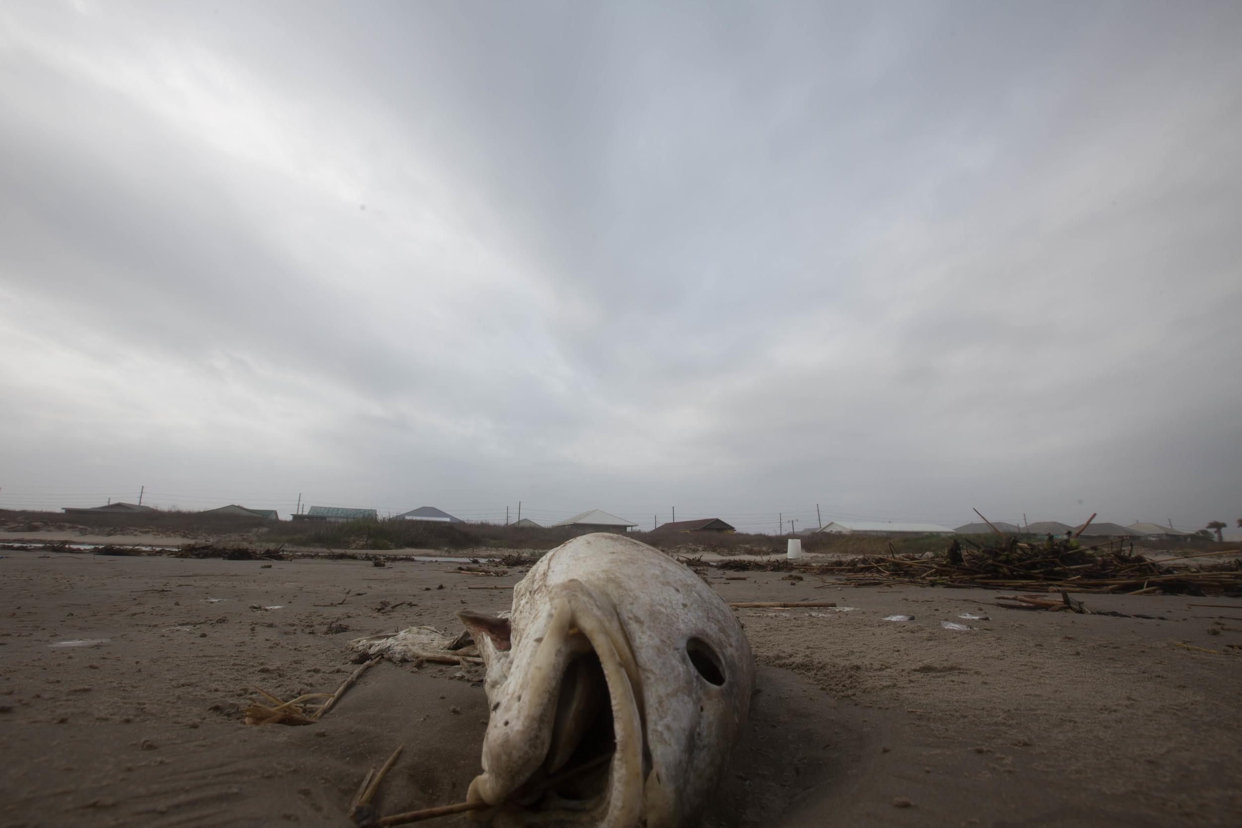 Dead fish on the beach, Grand Isle, La