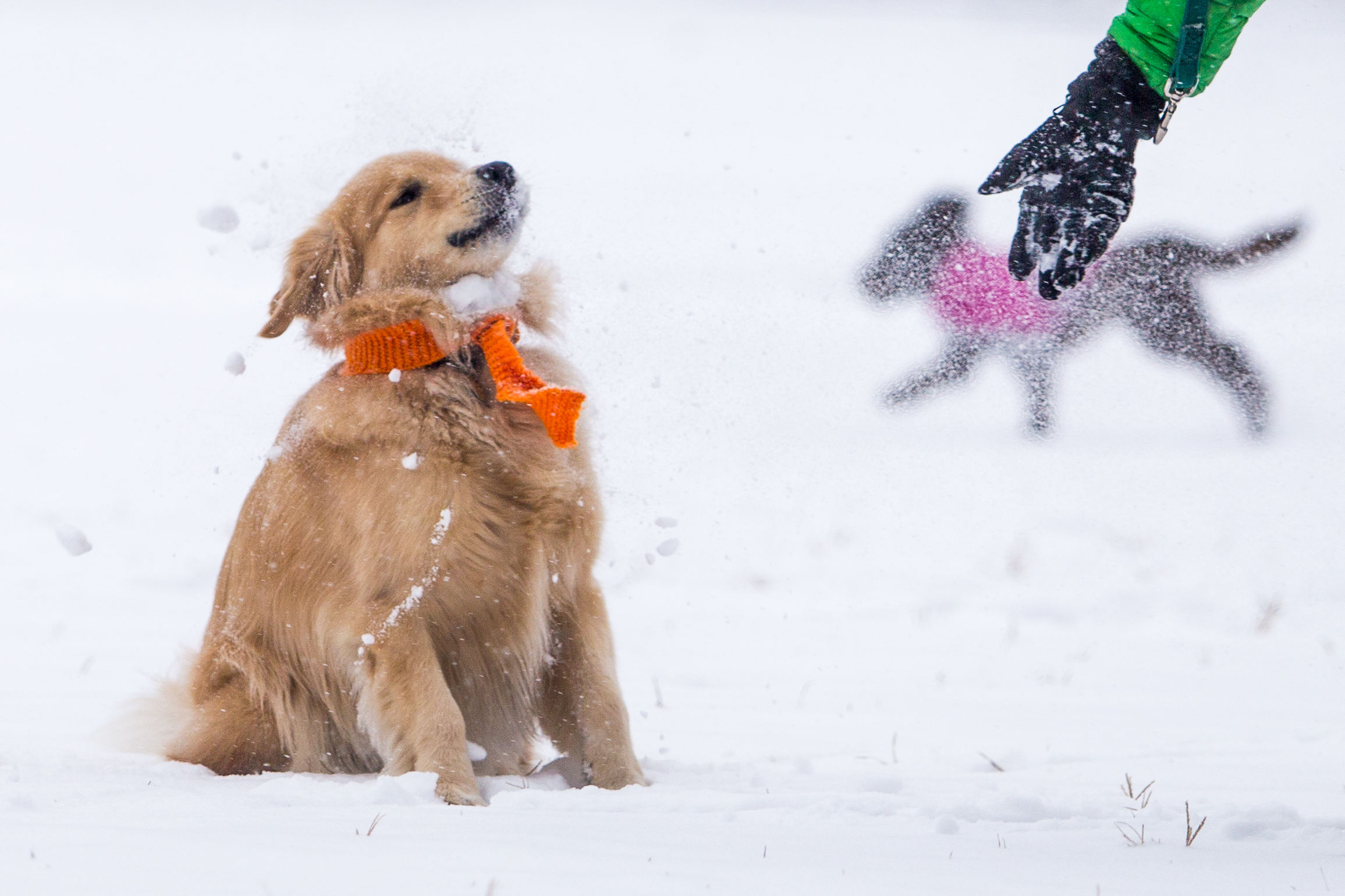 Murphy (left), a golden retriever, gets a face full of fresh snow from his owner John Taulane, of Boston, in the Boston Common Dec. 17, 2016.
