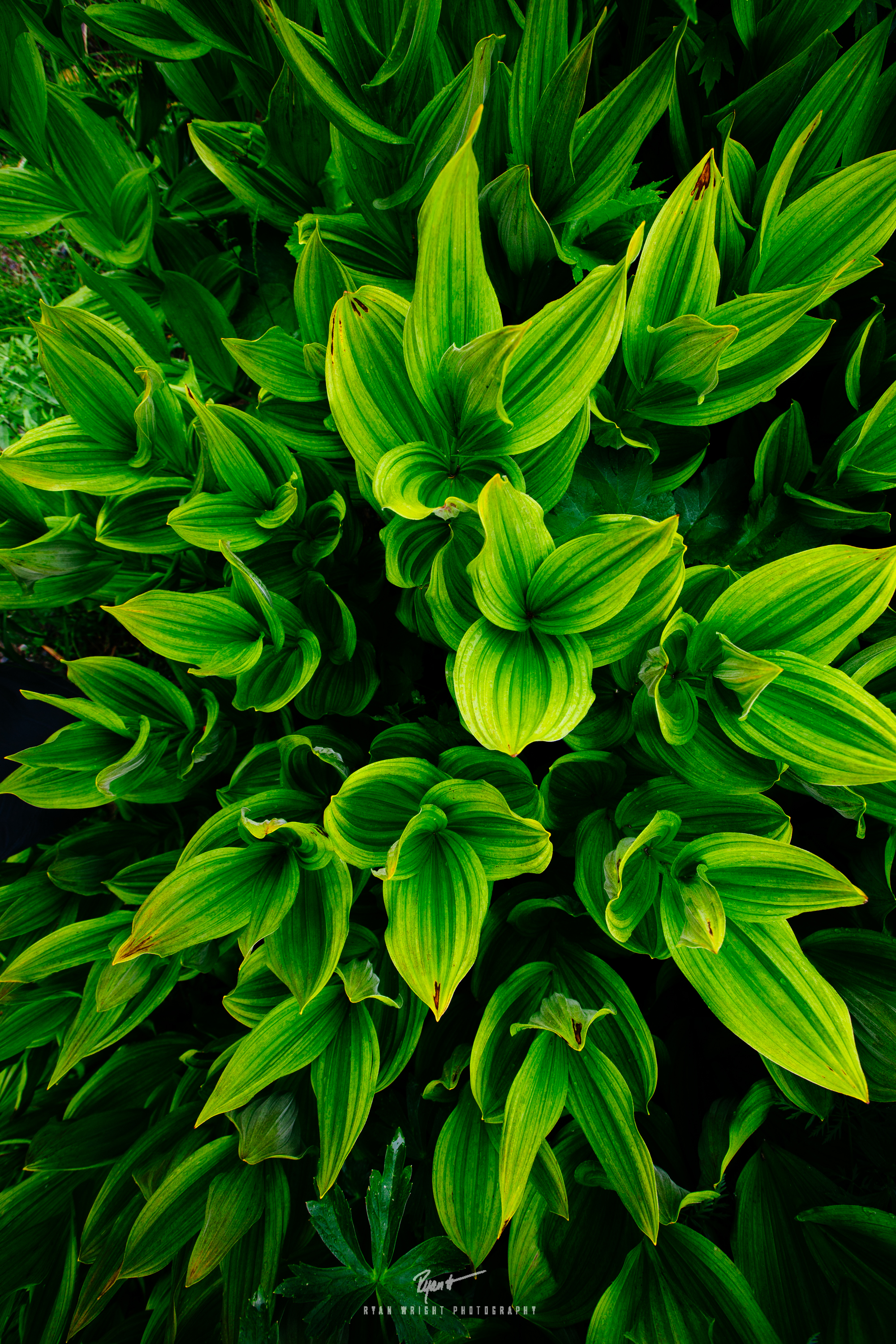 crested-butte-corn-lilly.jpg