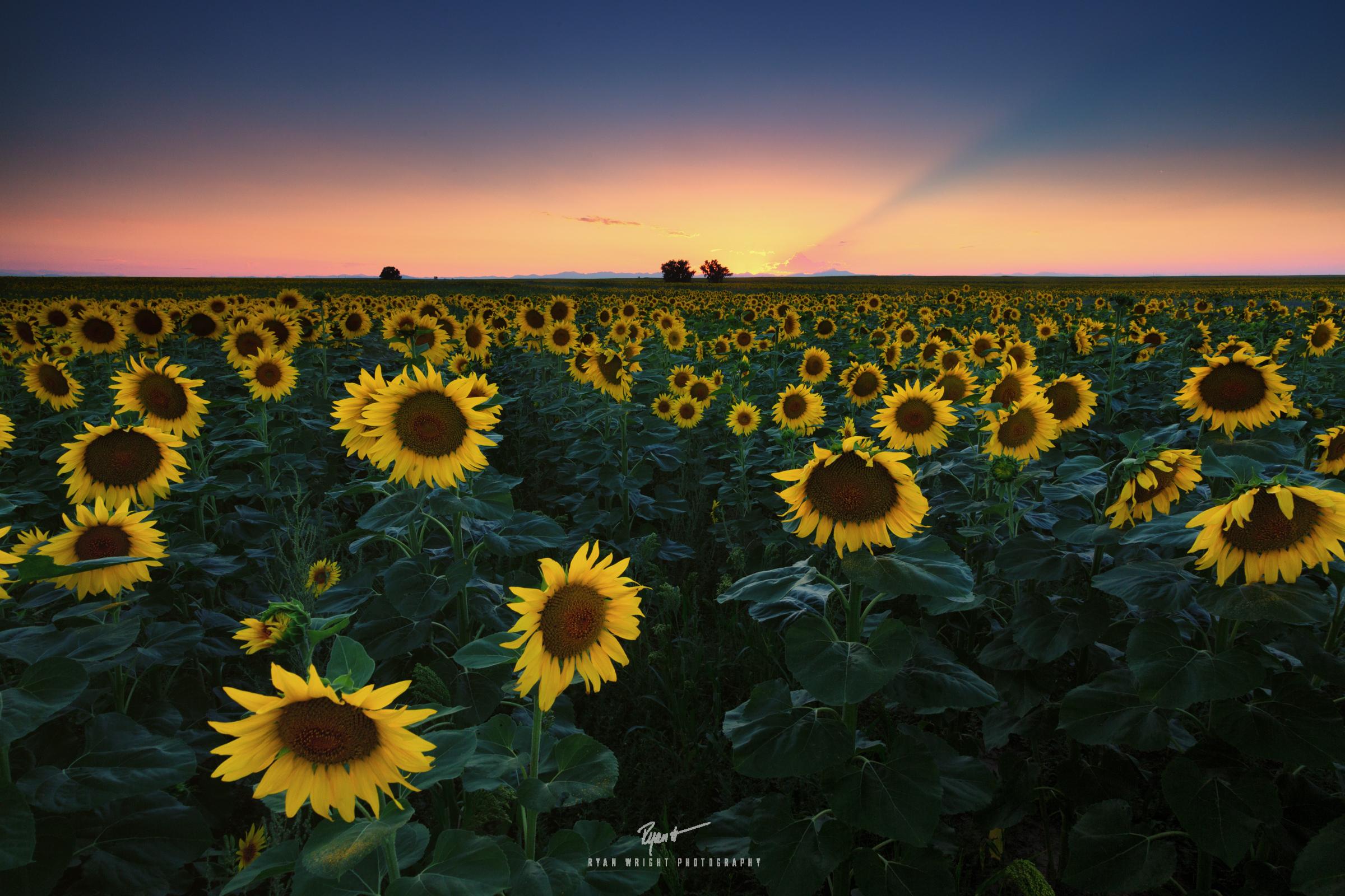 denver-international-sunflowers-sunset.jpg