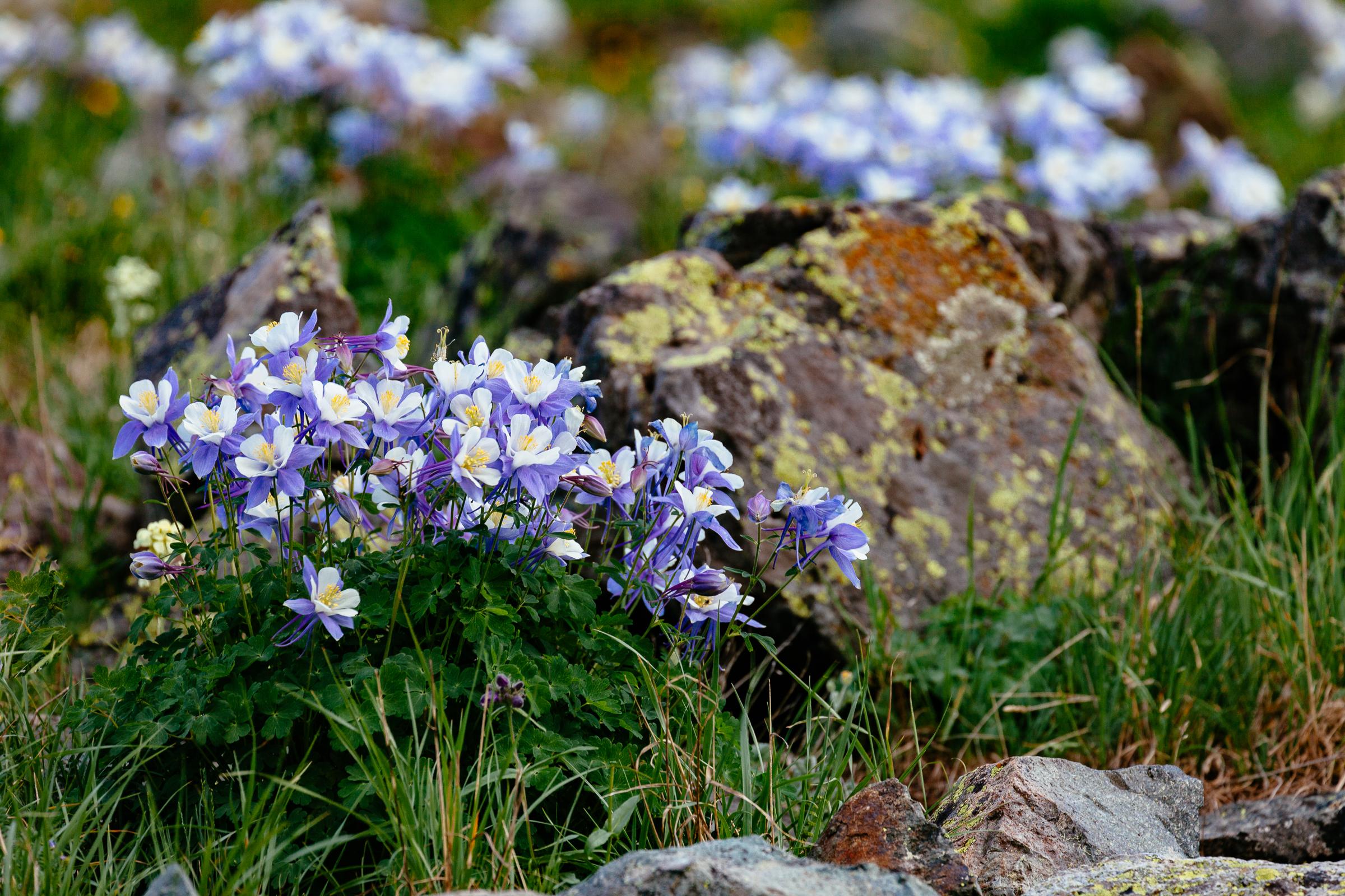 american-basin-columbines-wildflowers.jpg