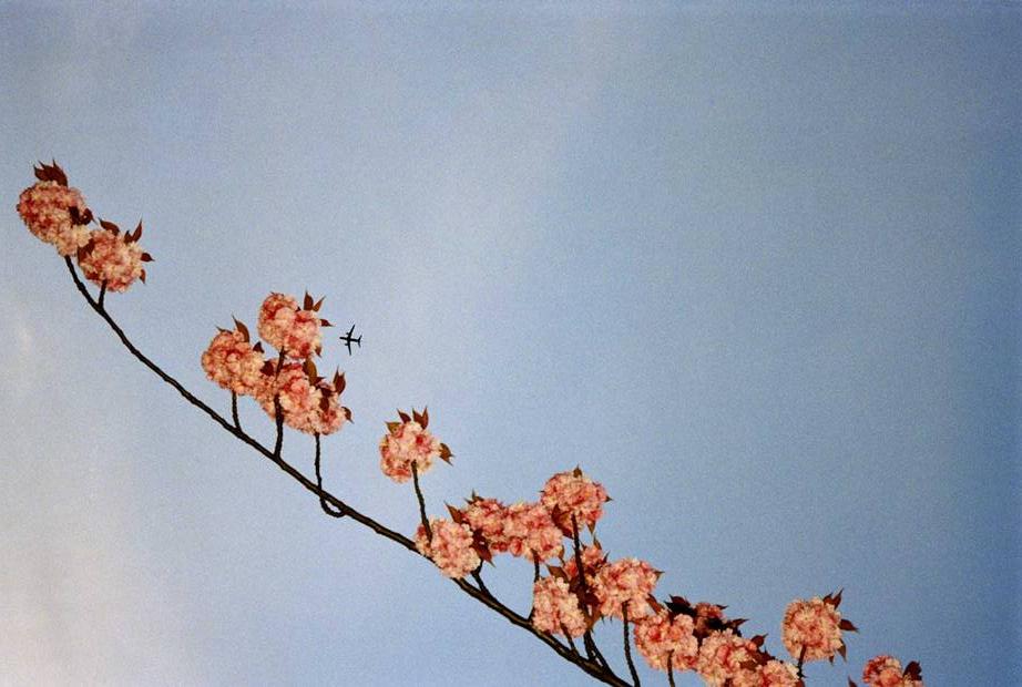Cherry Tree with Plane