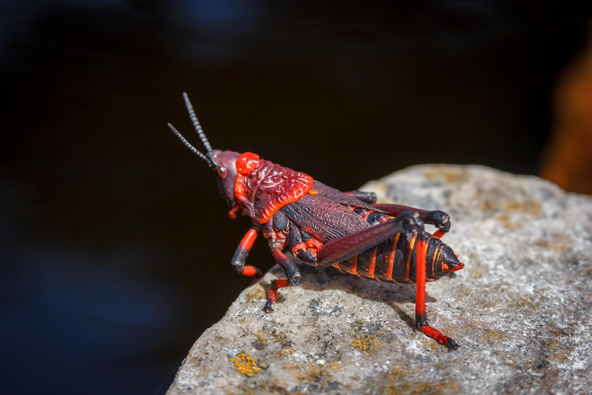 South African Bush Locust