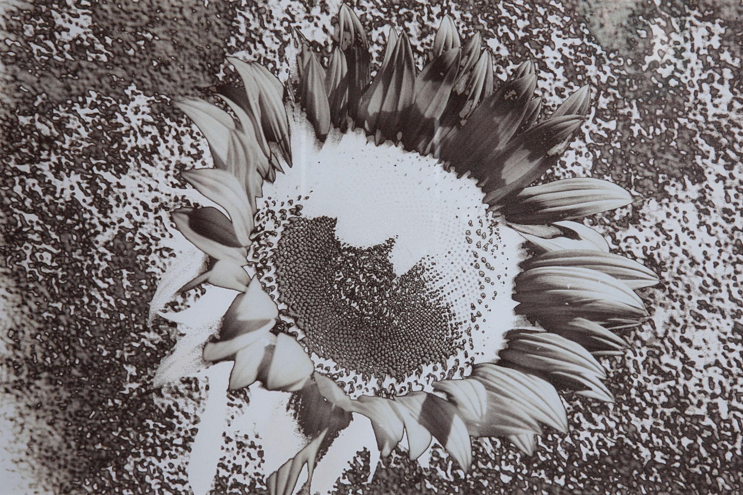 Sunflower 5.jpg