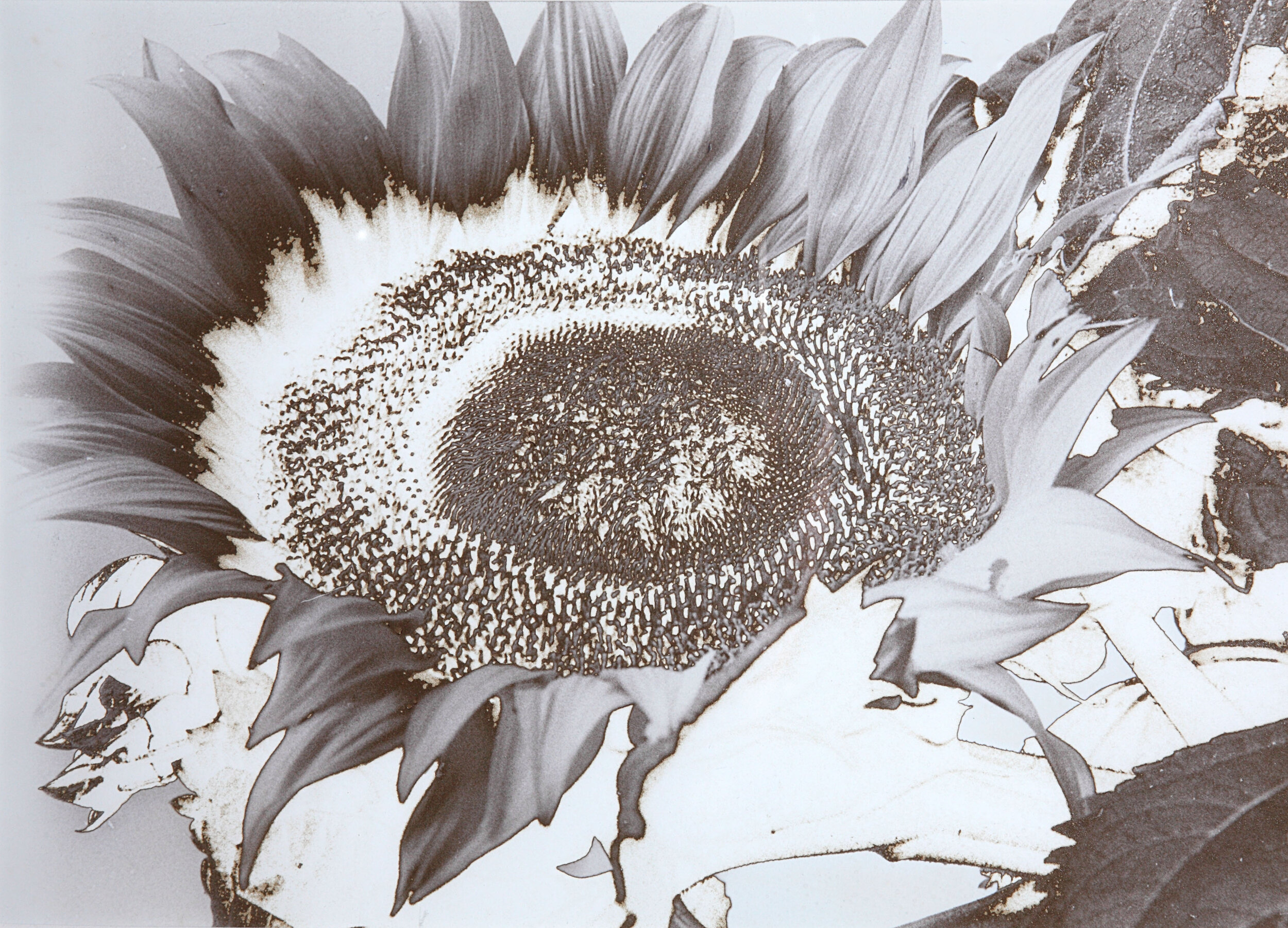 Sunflower 6.jpg