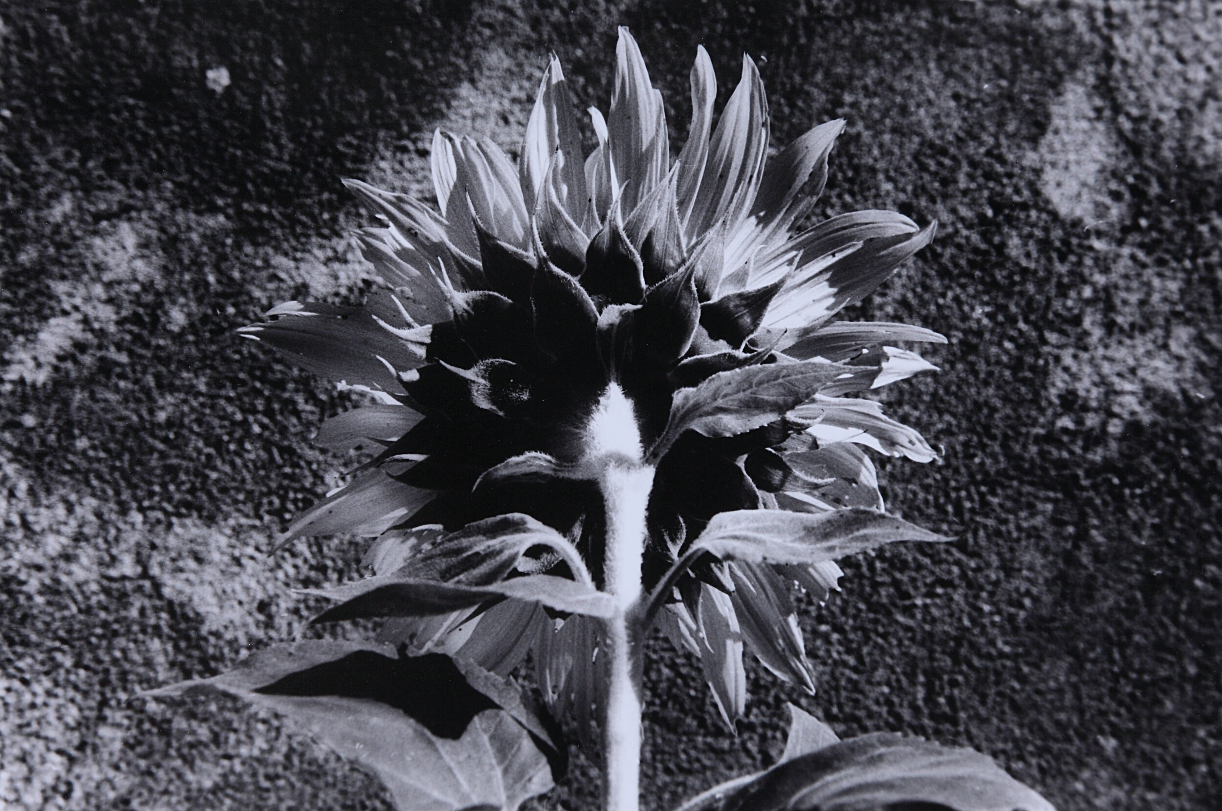 Sunflower 8.jpg