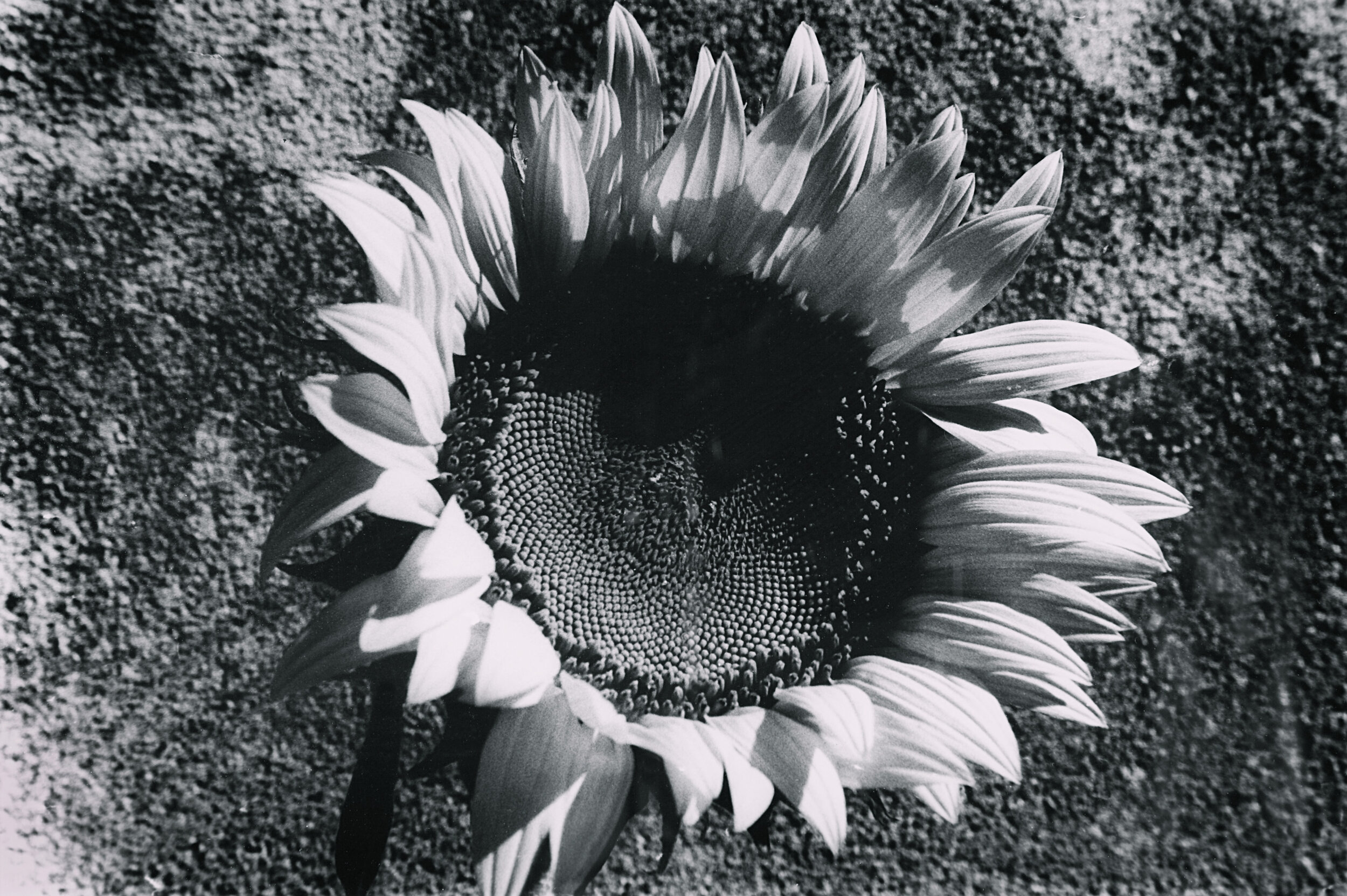 Sunflower 9.jpg
