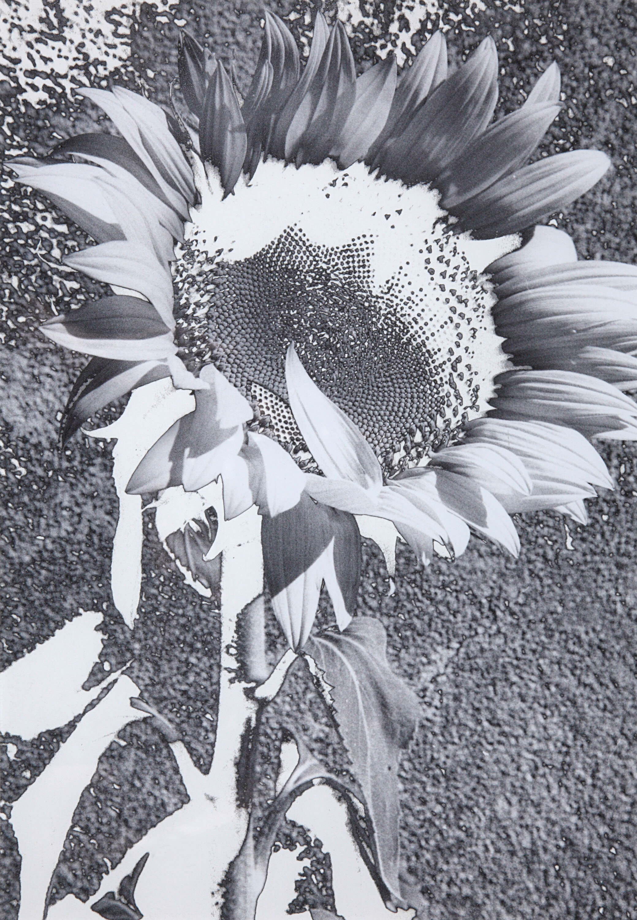 Sunflower 10.jpg