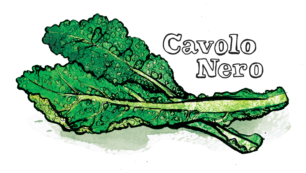 cavolo nero illustration