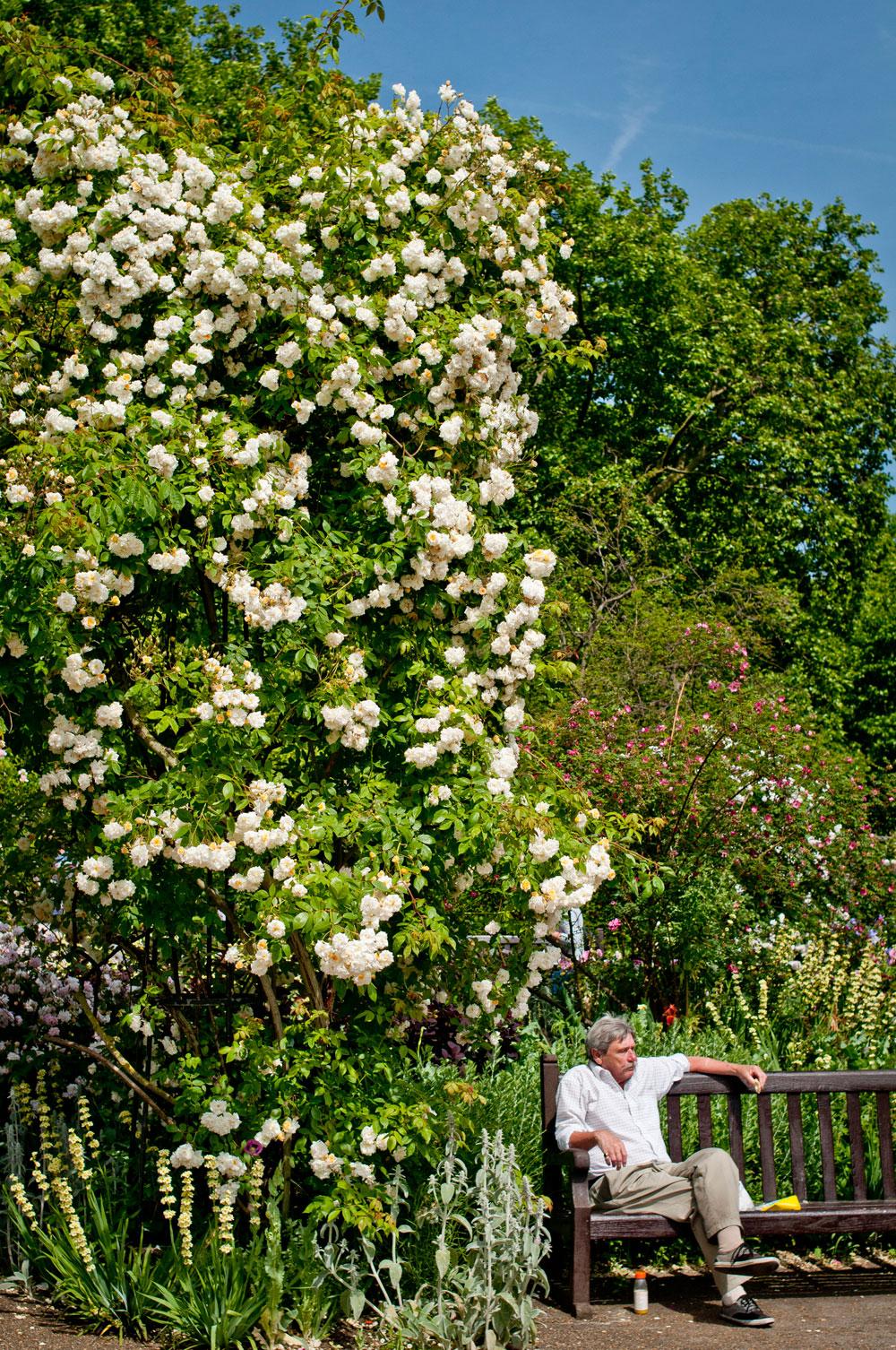 Rose garden at Diana, Princess of Wales Memorial Walk, Hyde Park. Photo © Zarina Holmes