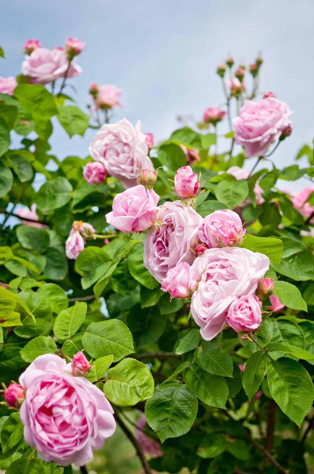 In bloom.Diana, Princess of Wales Memorial Walk, Hyde Park. Photo © Zarina Holmes