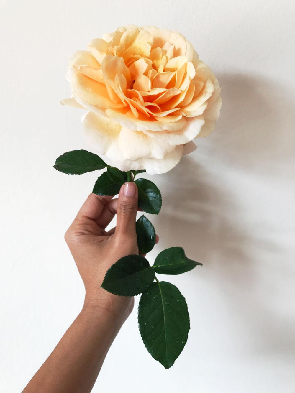 Simple Peach (Harkness Roses) from my balcony garden. Photo © Zarina Holmes