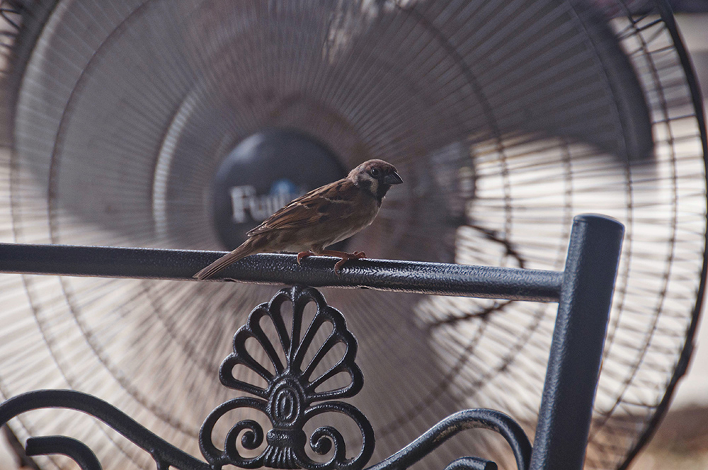 A sparrow at the jetty. Lumut, Perak.