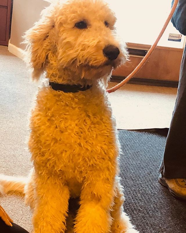 One of our patients brought their puppy to the clinic! He is a very well-behaved #goldendoodle for 6 months old. We are excited at Functional Health and Wellness because we will be getting a Golden Doodle puppy this coming summer! #goldendoodle #puppy #therapydog #happydog #fxnlhealth #caninefriend