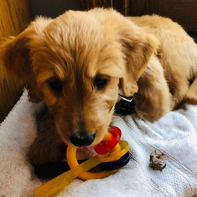 Introducing the newest member of the Functional Health and Wellness team, Moose! He is an 8-week old #goldendoodle and will be frequenting the clinic at least once a week! We hope that Moose will learn a lot in the coming weeks and months as he will also be training to become a therapy dog! His calm demeanor and willingness to please means he's off to a great start!  #Moose #goldendoodle #doodle #therapydog #puppyintraining #puppy #fxnlhealth