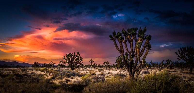 Joshua Trees in Mojave National Preserve