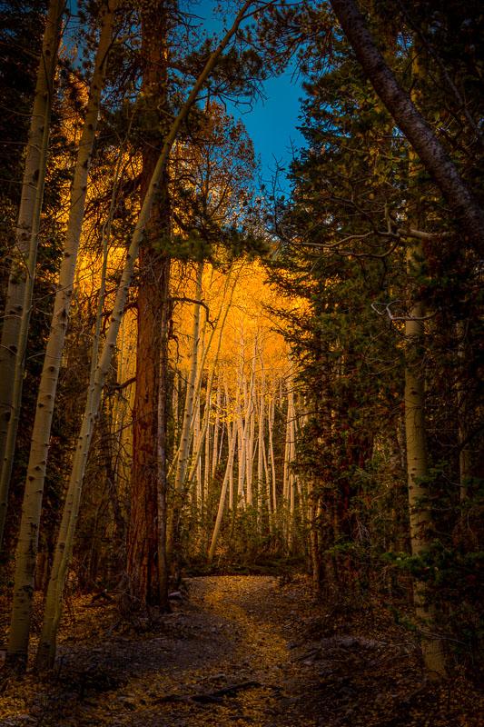 Glowing Aspen Grove
