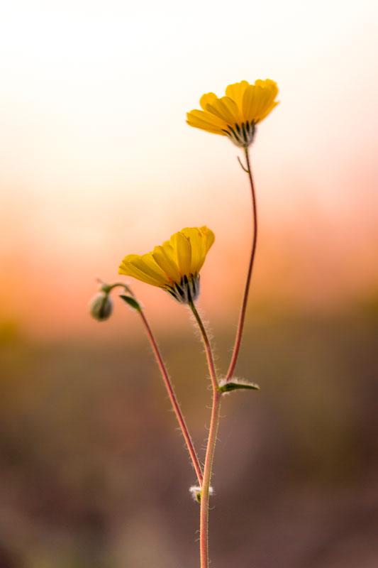 Wildflower Portrait, Death Valley National Park