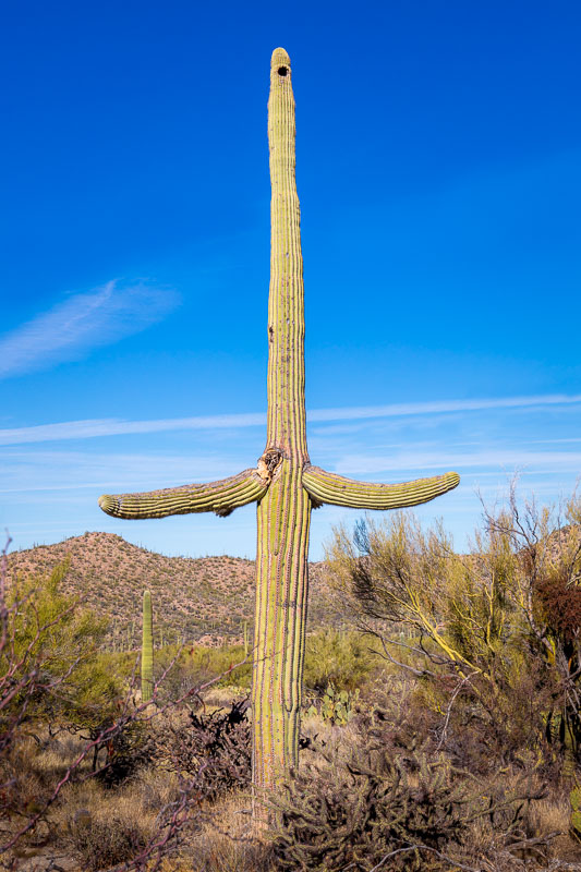 The Opera Singer, Saguaro National Park