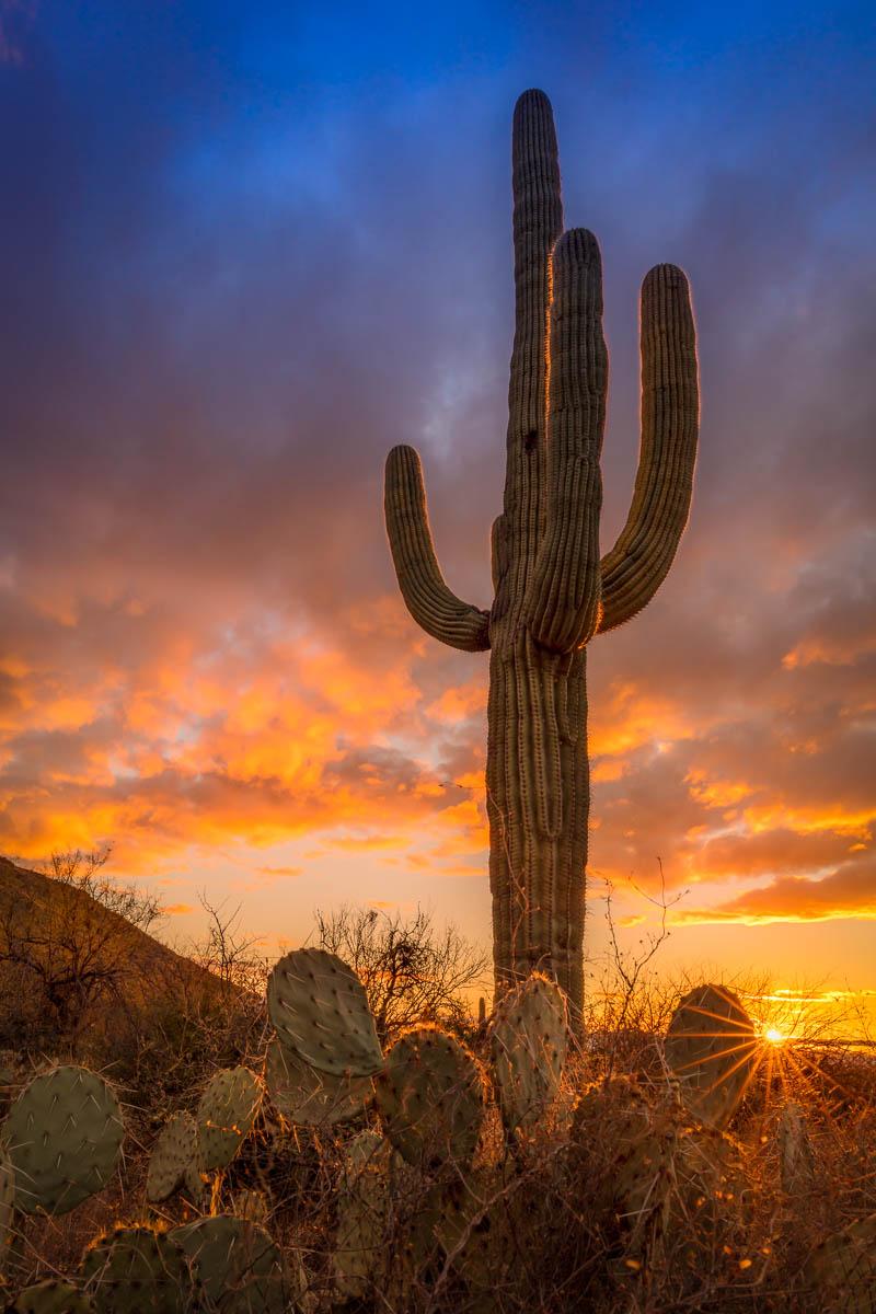 Saguaro in the Setting Sun