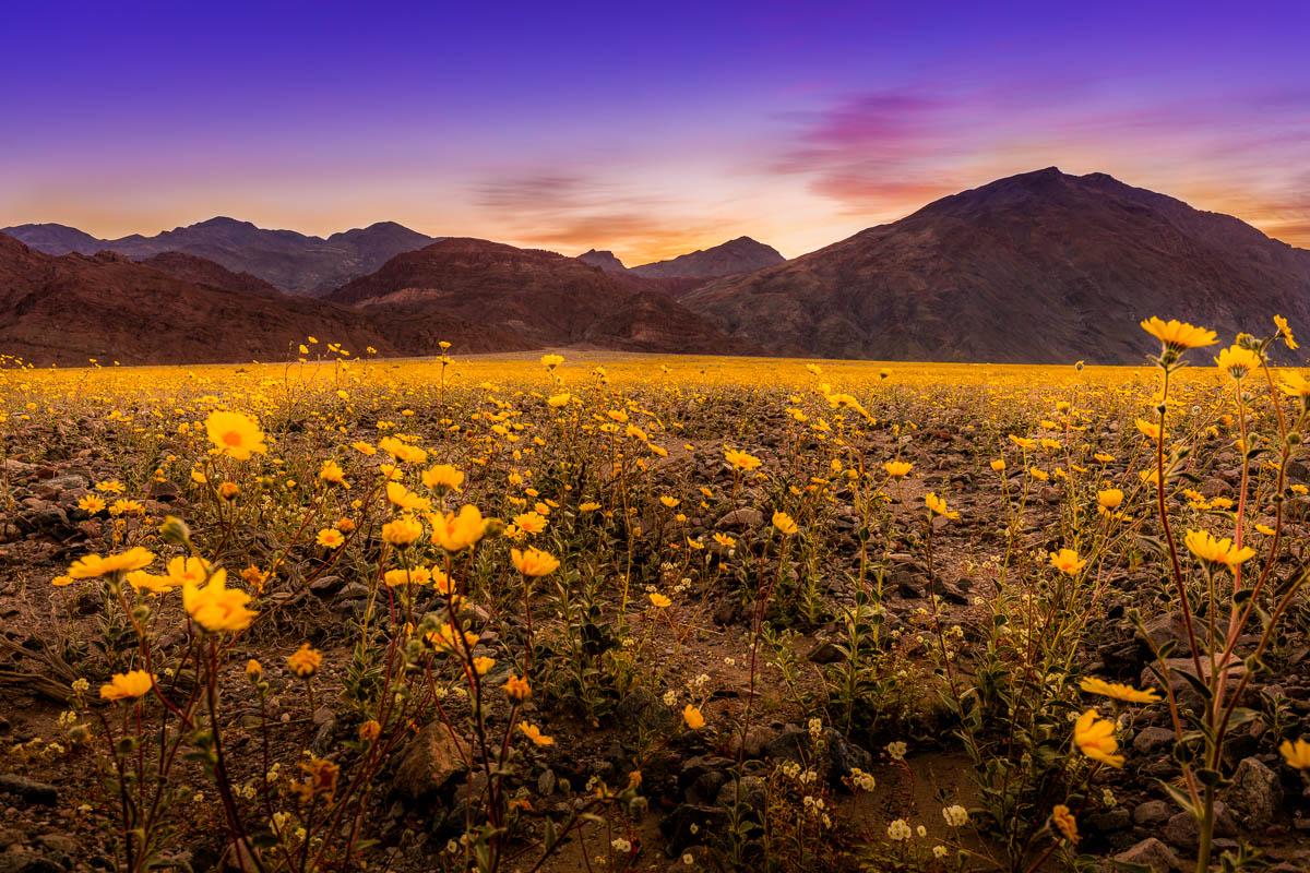 Super Bloom at Sunrise