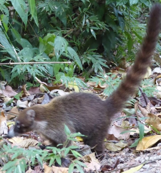 The Picture As Promised; They Call It a Coati.