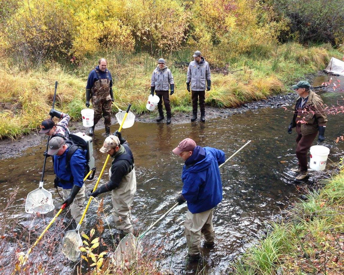You've heard of cattle drives? This is what a trout drive looks like. Perhaps a few too many cooks in the kitchen though.