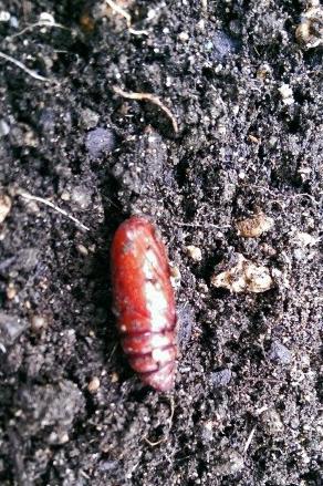 cutwormpupa