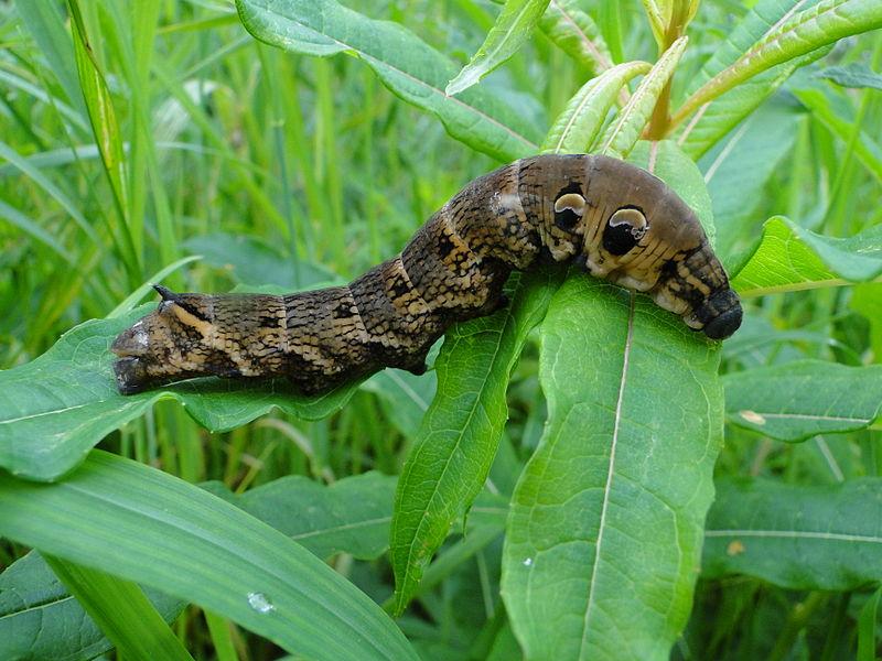 Deilephila_elpenor_caterpillar_Richerman