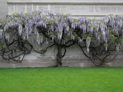 wisteria-dc-apr-081