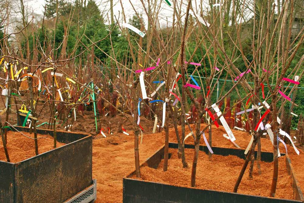 bare-root fruit trees