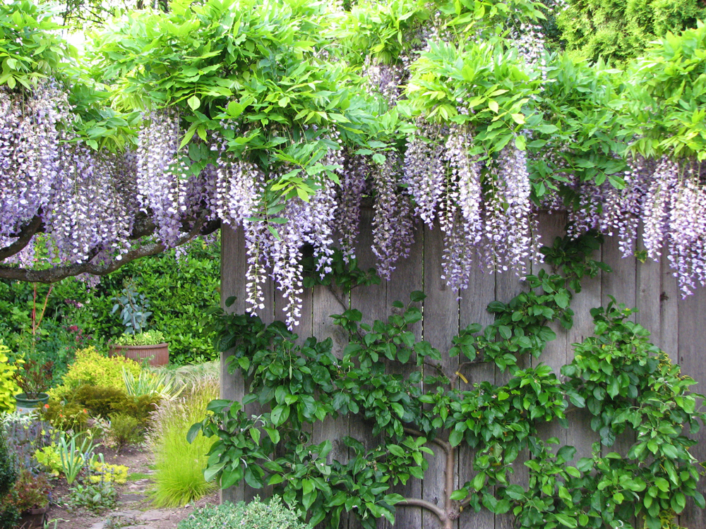 Promoting Wisteria Bloom Part 2 A Three Year Plan Swansons