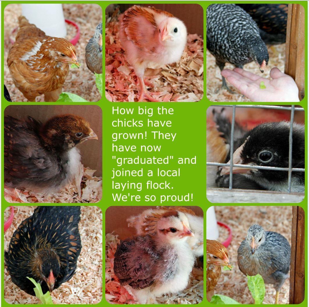 chickgraduationposter