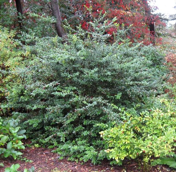 Vaccinium ovatum in Kubota Gardens