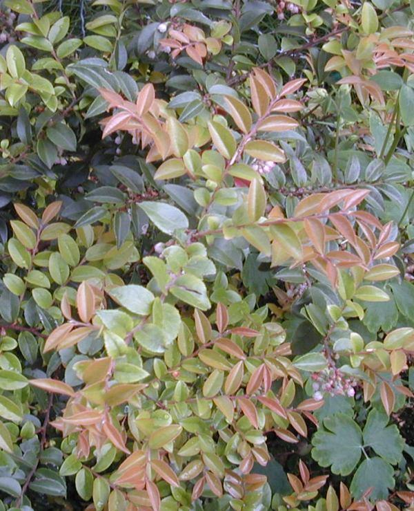 Vaccinium ovatum spring foliage