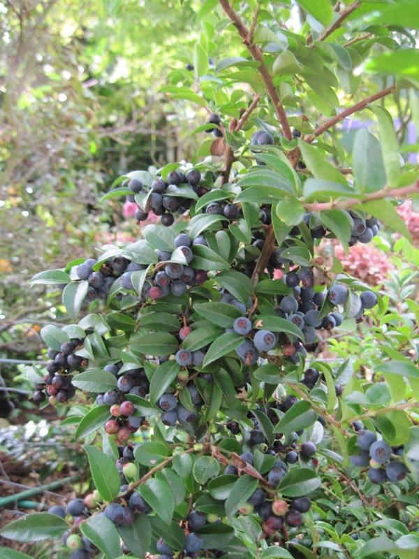 Vaccinium ovatum berries