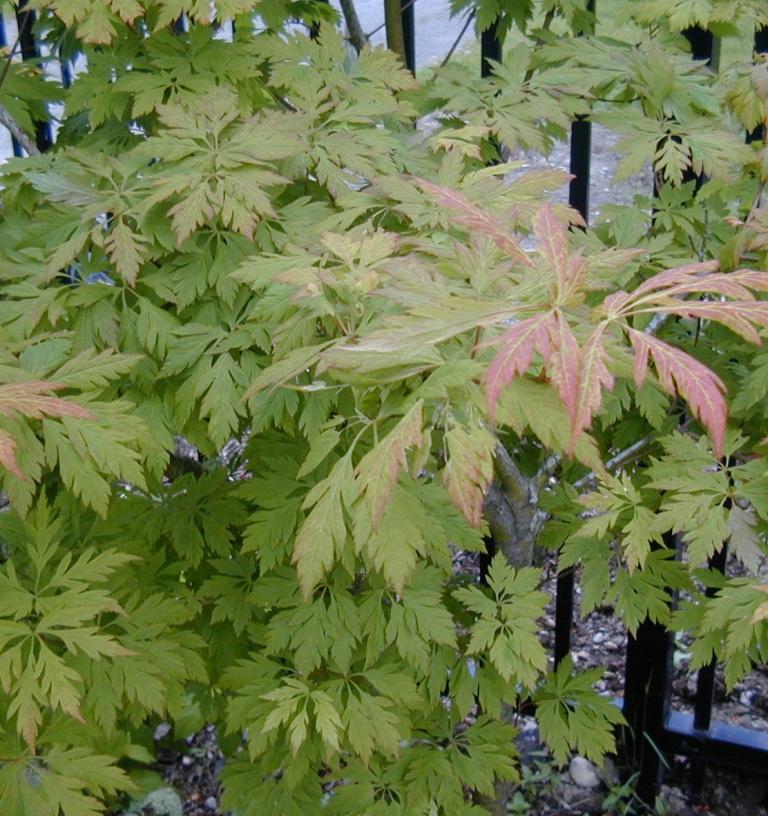 Acer circinatum 'Monroe' (cutleaf form)
