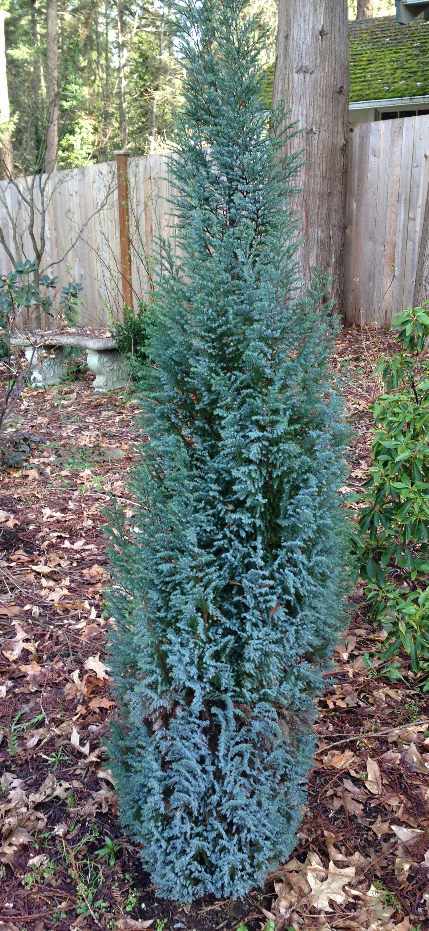 Chamaecyparis lawsoniana 'Blue Surprise'