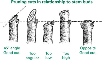 pruning cuts.png