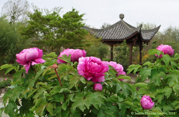 Peonies in bloom at the Seattle Chinese Garden
