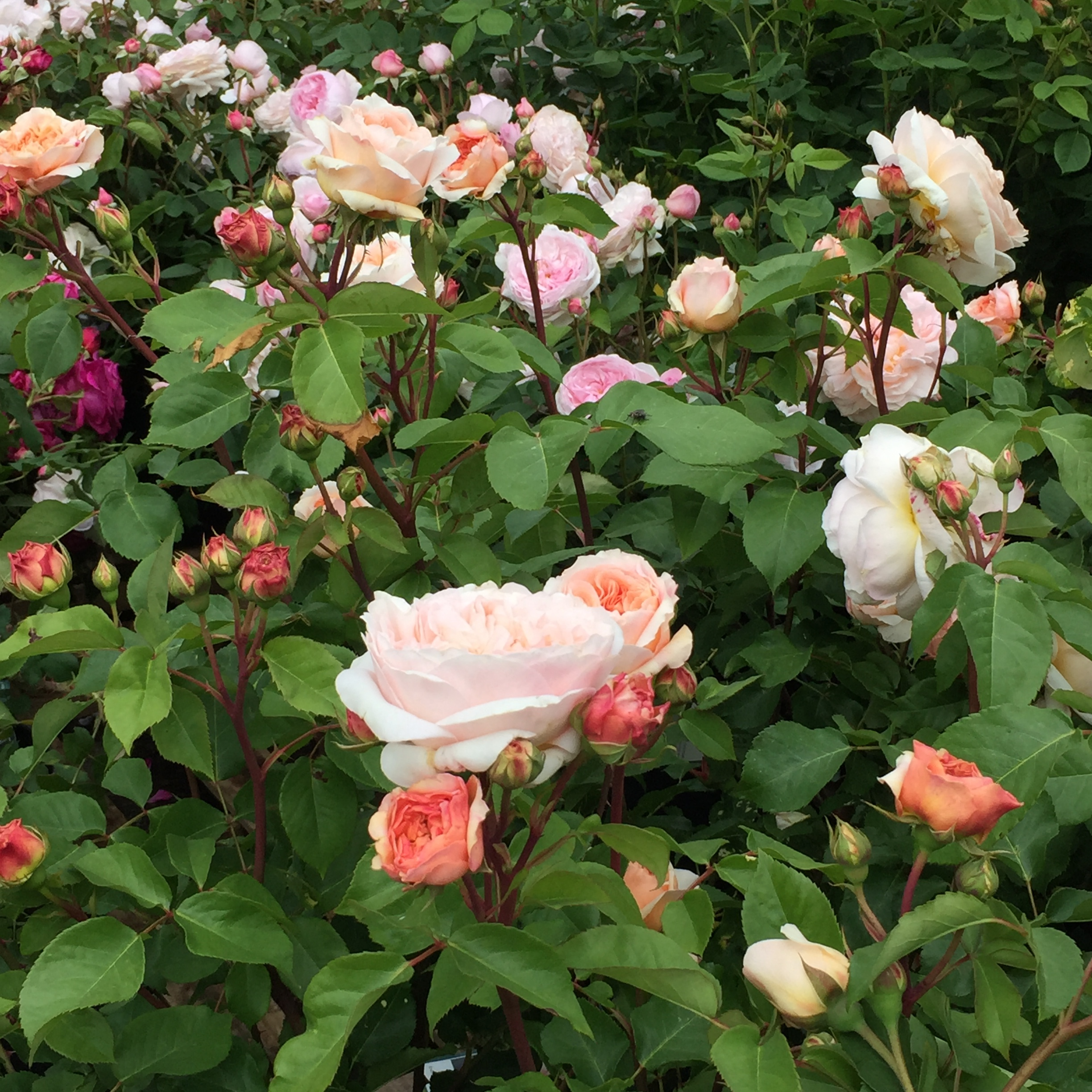 Caring For Roses In The Pacific Northwest Swansons Nursery