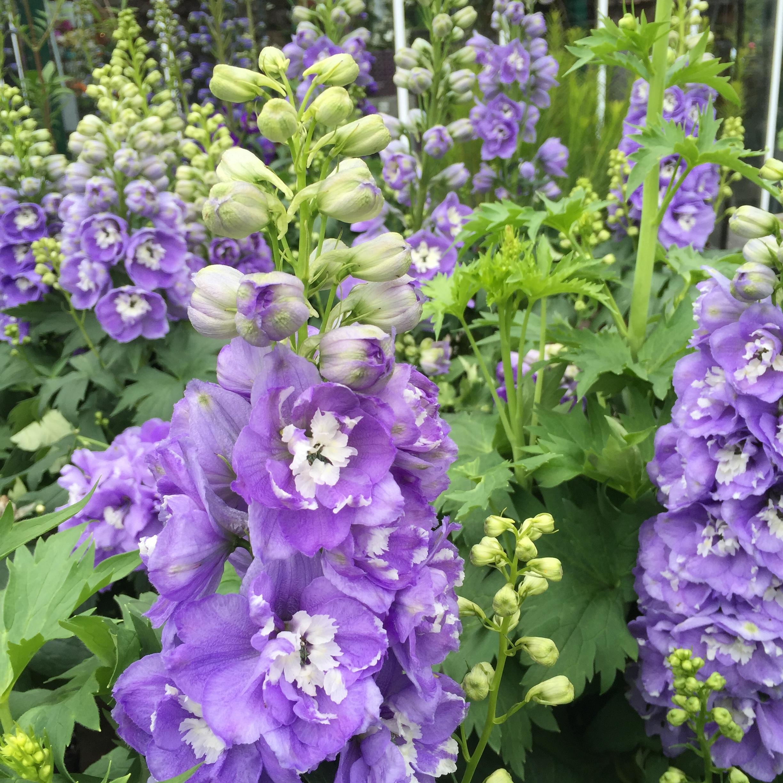 Delphinium elatum 'Aurora Lavender'