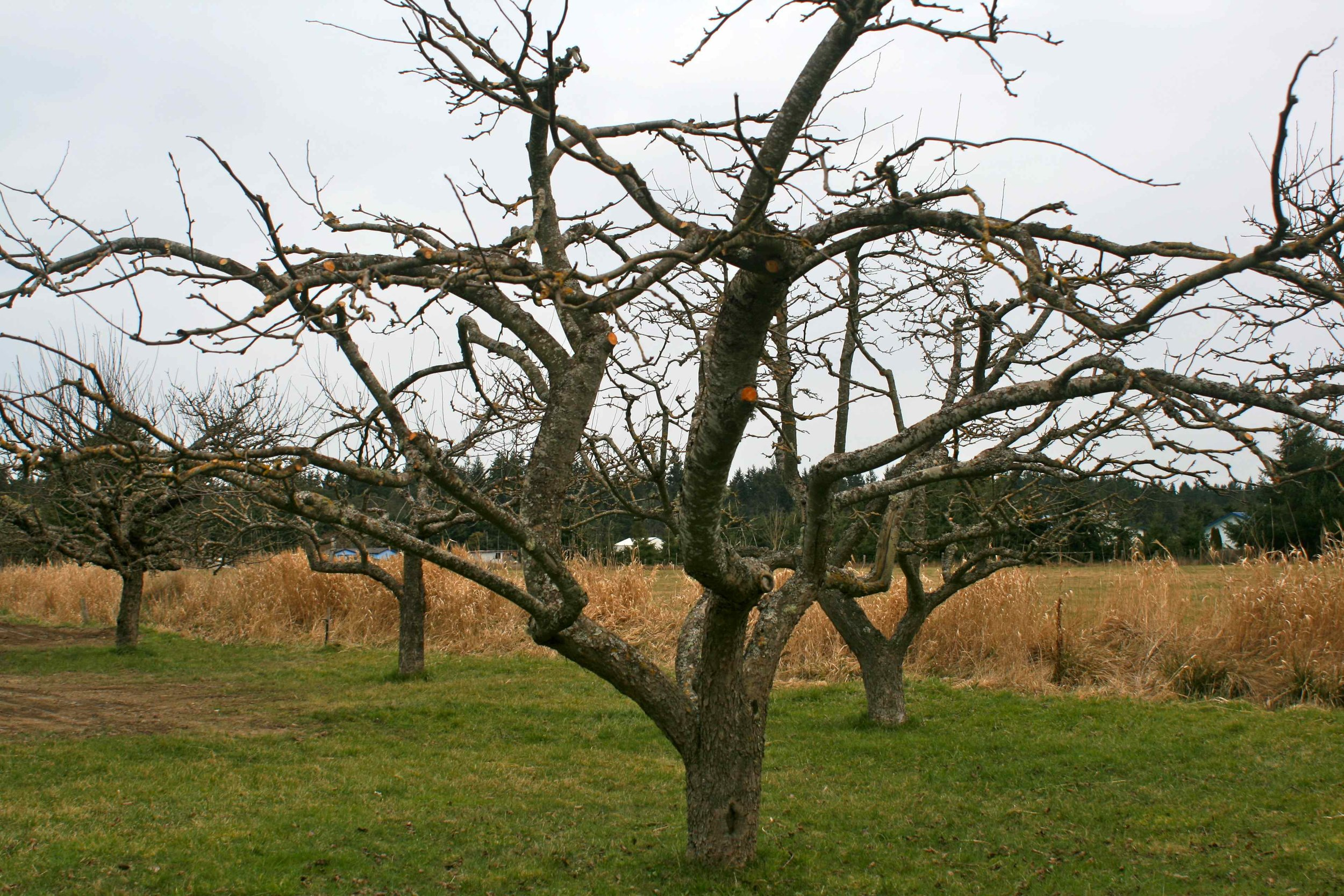 Well-pruned apple trees, opened up to allow light and air circulation. Photo: Curran Apple Orchard.