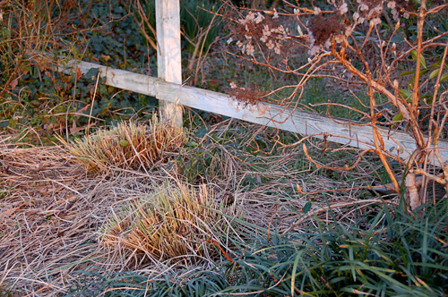 Winter grasses that have been cut back. Photo: Phillip Oliver.