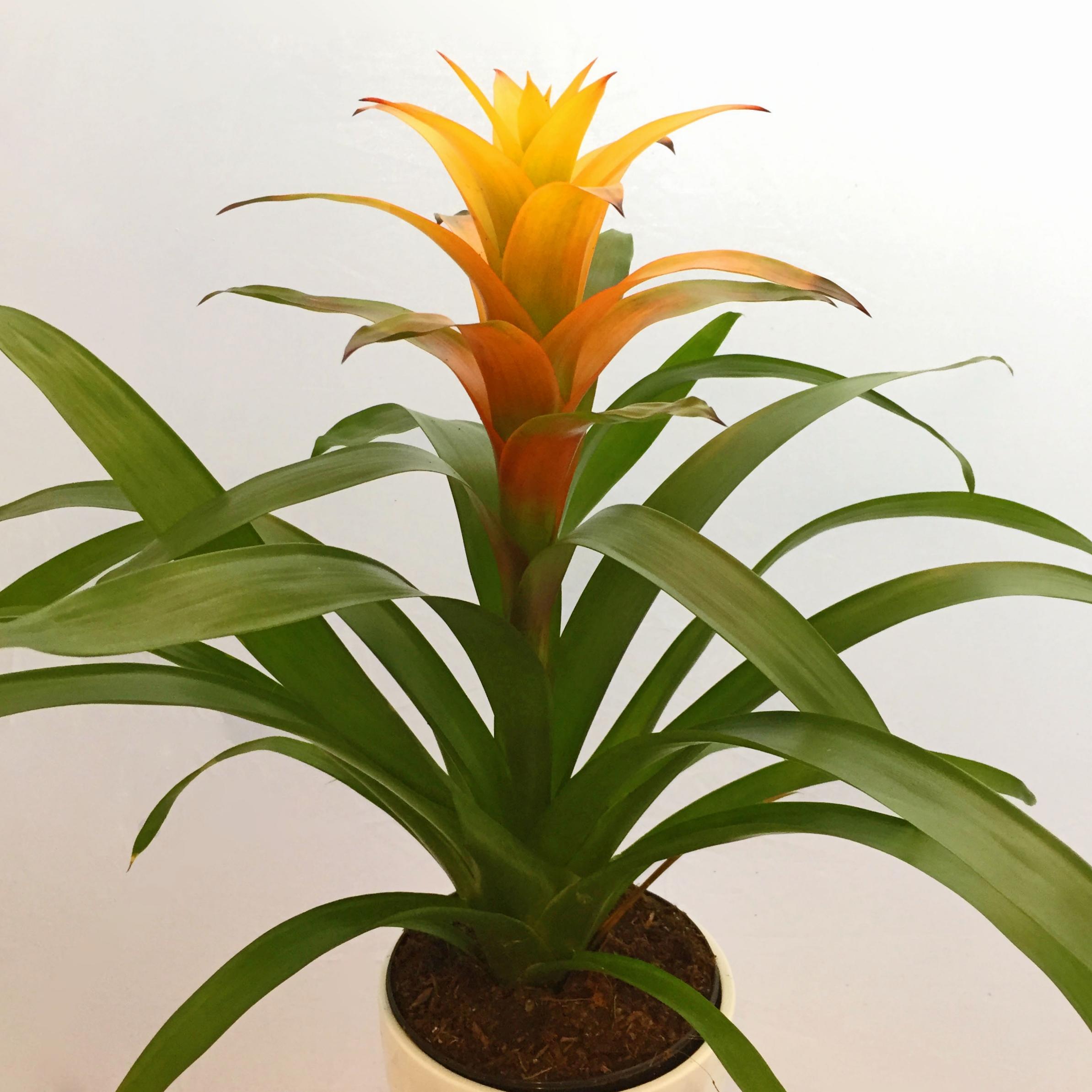 Guzmania lingulata  (Bromeliad family)