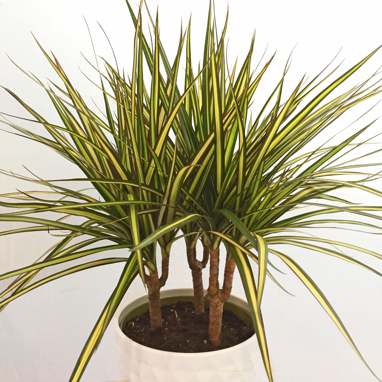 Dracaena marginata cv.