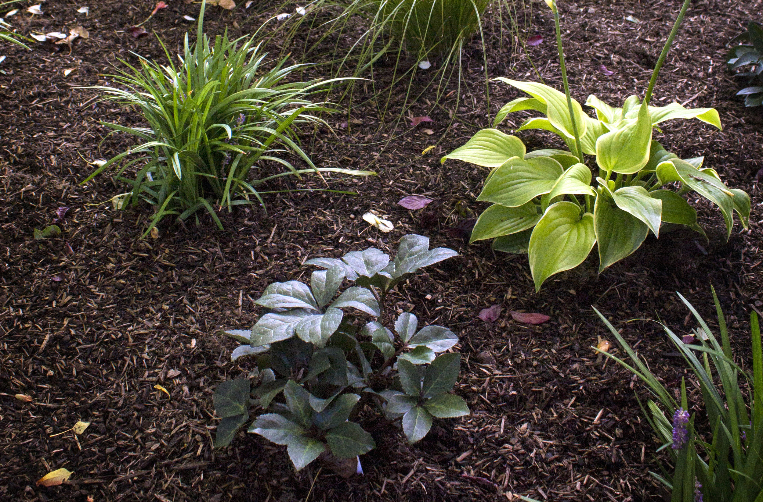 G&B Organics Soil-Building Conditioner (one of our favorite compost products) used as a mulch.
