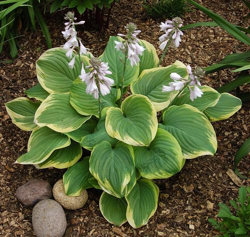 Hosta_fragrantbouquet.jpg