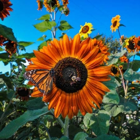Autumn Beauty Sunflower photo: Baker's Creek Heirloom Seeds