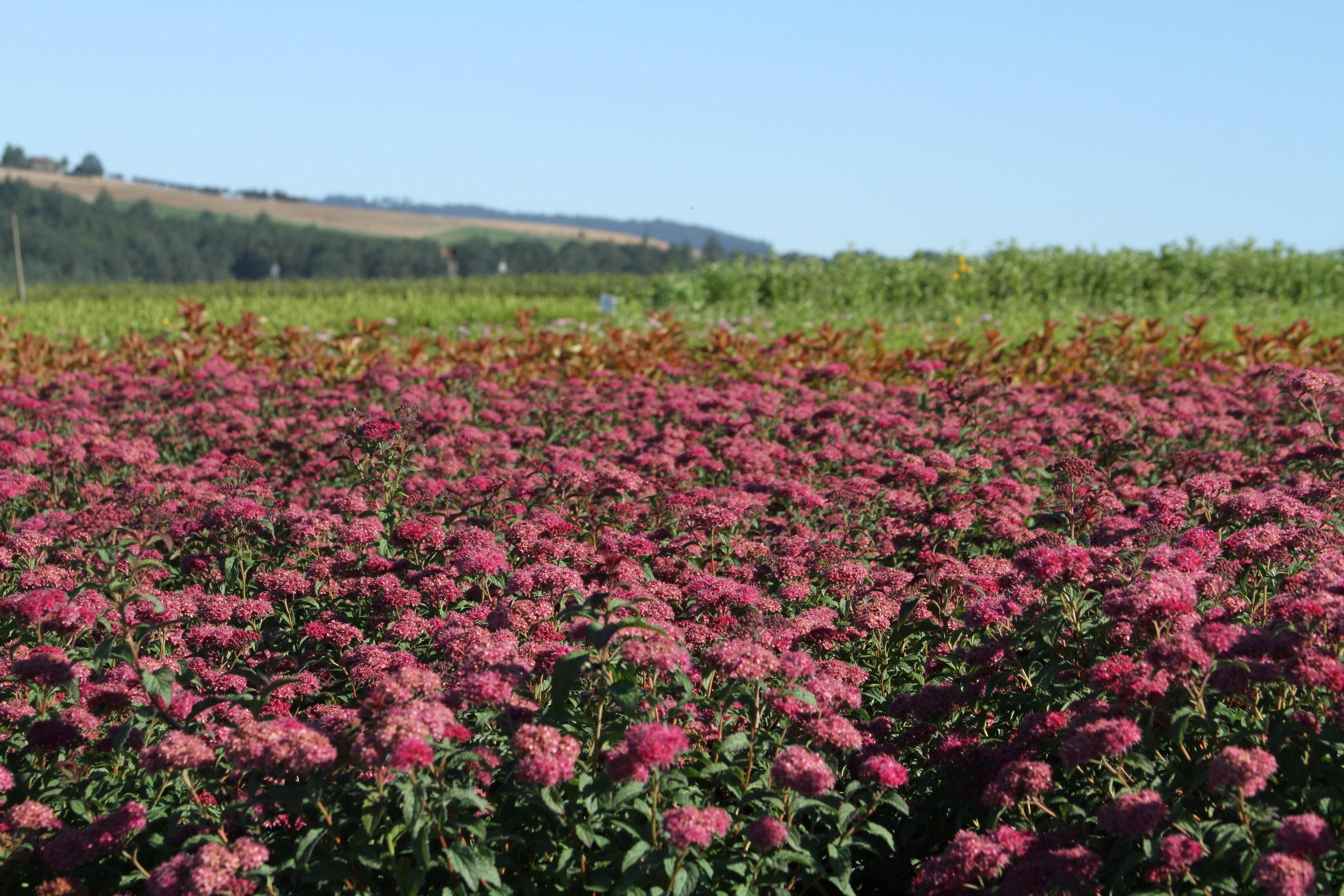 A field of spirea in bloom.